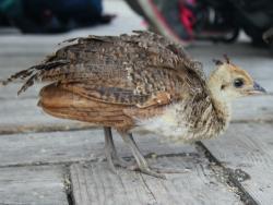Brownsea Island peacock chick