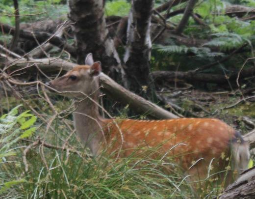Brownsea Island sikka deer