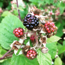 Blackberries Trinity Hill