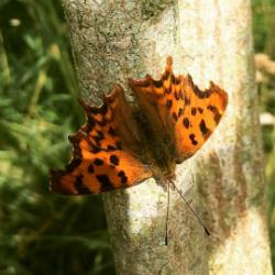 Butterfly-Comma-Trinity-Hill