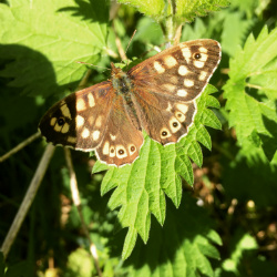 Speckled Wood Butterfly Trinty Hill
