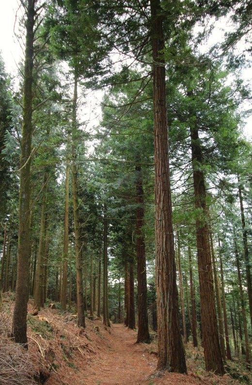 Shute Woods East Devon conifers