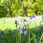 My Guide to the best Bluebell Woods in Devon Dorset and Somerset