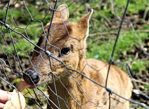 South West Deer Rescue Centre muntjac deer