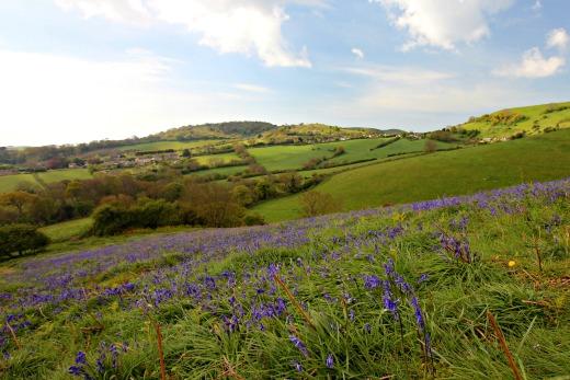 Colmer's Hill Bridport Walk bluebells