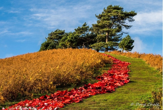 Colmer's Hill River of Poppies