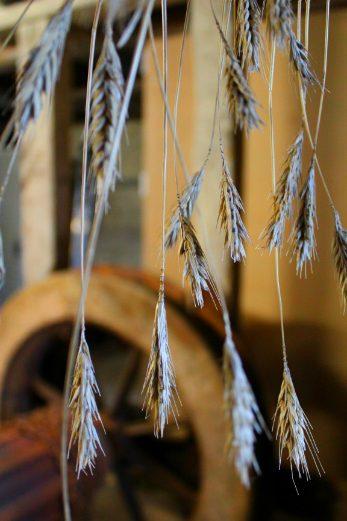 Lyme Regis Town Mill barley