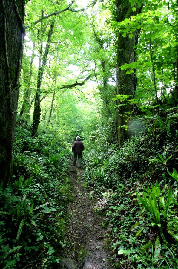 Combe Woods woodland walk near Honiton in Devon fern gully