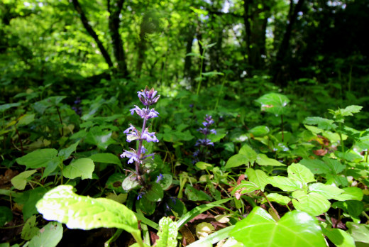 Combe Woods woodland walk near Honiton in Devon orchids