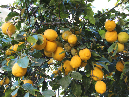 Crete on the Cheap lemon tree