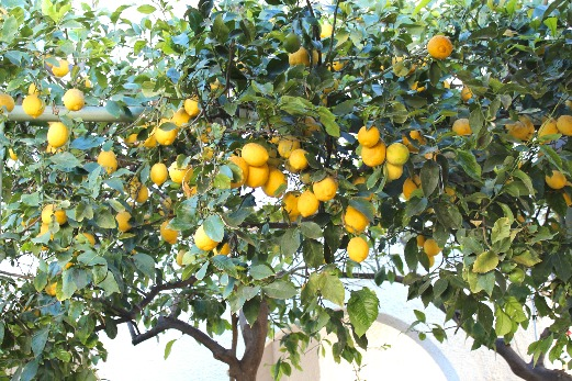 Exploring Sorrento and the Amalfi Coast lemon tree