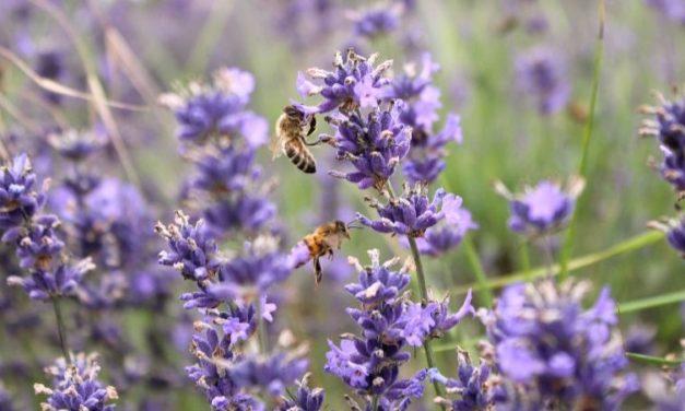 English Lavender Fields Somerset Lavender