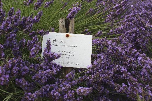 English Lavender Fields Somerset Lavender Farm garden
