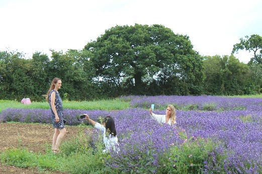 English Lavender Fields Somerset Lavender Farm instagramers