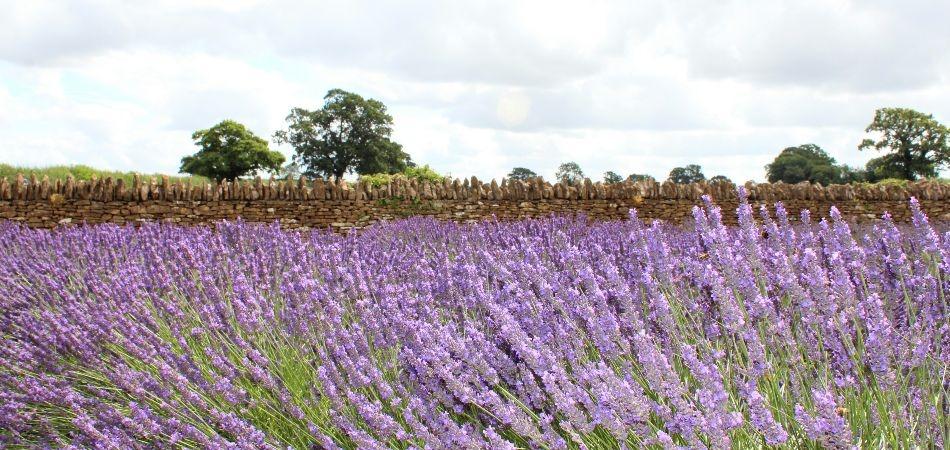 English lavender fields Somerset Lavender Farm