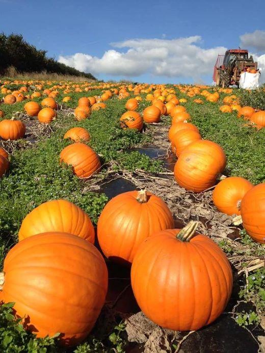 Terawhiti Farm pumpkin patch